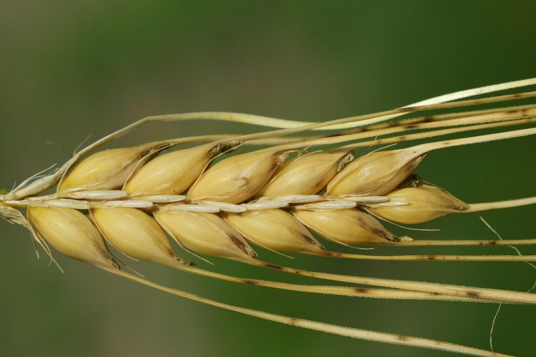 barley: reduce cholesterol levels